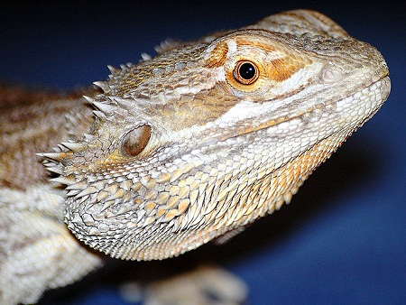 Closeup of a Bearded Dragon