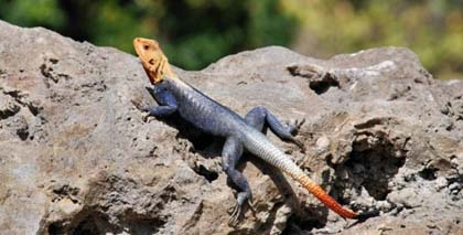 - red-headed-rock-agama-03