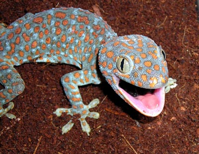 Tokay Gecko Pictures