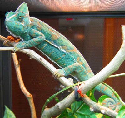 female veiled chameleon
